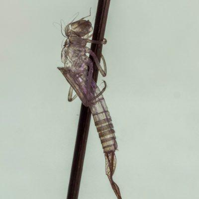 Ischnura graellsii (Retamar)