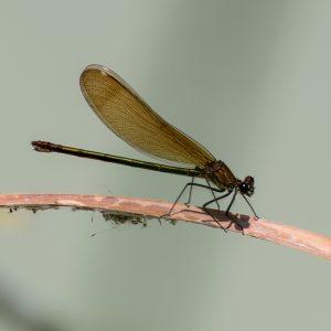 Calopteryx haemorrhoidalis hembra /@Antonio Villen