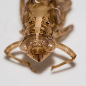 Exuvia de Zygonyx torridus.